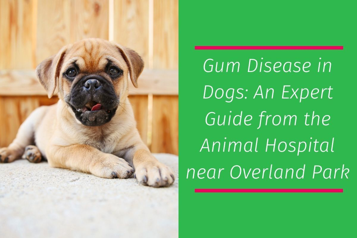 Gum-Disease-in-Dogs_-An-Expert-Guide-from-the-Animal-Hospital-near-Overland-Park